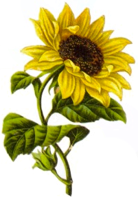 sunflower-seed-oil